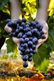 Traubenernte für Weinproduktion lizenzfreie stockfotografie