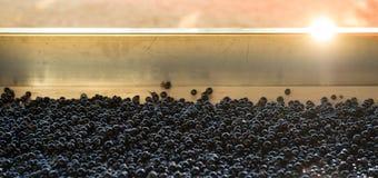 Traubenernte, rote Bucht auf der sortierenden Tabelle Lizenzfreie Stockfotografie
