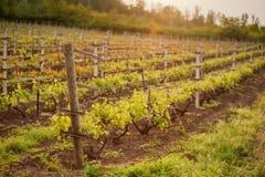 Traubenfelder im Frühjahr und Sommer in der Sonne Stockbilder