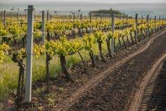 Traubenfelder im Frühjahr und Sommer in der Sonne Stockfotos