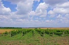 Traubenfelder Weinproduktion landwirtschaftliche Kultur Lizenzfreies Stockfoto