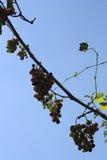 Traubenfrucht Lizenzfreies Stockfoto
