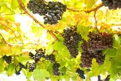 Traubenfrucht auf Baum, Weinberge Stockbild
