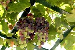 Traubenfrucht an graden in Malta Lizenzfreie Stockfotografie