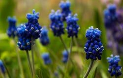 Traubenhyazinthe, blauer Muscari - blühender Frühling blüht im GA Stockbilder