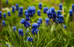 Traubenhyazinthe, Muscari - blühender Frühling blüht im Garten, Lizenzfreies Stockfoto