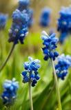 Traubenhyazinthe, Muscari - blühender Frühling blüht im Garten, Stockbild