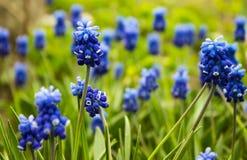Traubenhyazinthe, Muscari - blühender Frühling blüht im Garten, Stockfotografie