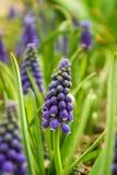 Traubenhyazinthe, Muscari - blühender Frühling blüht im Garten, Stockbilder