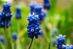 Traubenhyazinthe, Muscari - blühender Frühling blüht im Garten, Lizenzfreie Stockfotos
