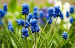 Traubenhyazinthe, Muscari - blühender Frühling blüht im Garten, Stockfotos