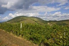 Traubenplantage in Eger Lizenzfreie Stockbilder