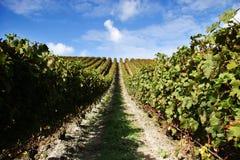 Traubenreben an einem Weinberg Lizenzfreie Stockfotografie