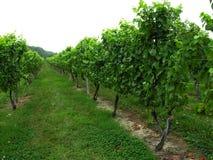 Traubenreben an einem Weinberg Stockbilder