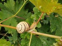 Traubenschnecke, die auf den Stamm des Traubenblattes nach dem Regen kriecht lizenzfreies stockfoto