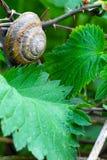 Traubenschnecke und die Grünblätter Stockfoto