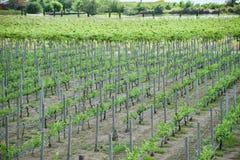 Traubenweinbau in den Weinbergen, welche die Bauernhoflandwirtschaft pflanzen stockbilder