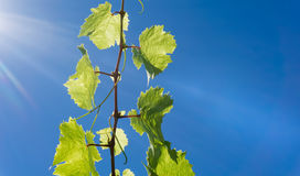 Traubenweinbau gegen das Aufflackern des blauen Himmels und der Sonne hoch im Himmel Stockfotografie
