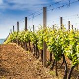 Traubenweine mit im Weinberg lizenzfreies stockfoto