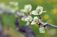 Traubenweinsprößlinge Stockbilder