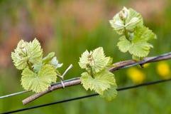 Traubenweinsprößlinge Lizenzfreies Stockbild
