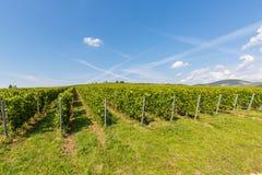 Traubenyard, Weinyardlandschaft mit frischen Grünblättern und Bergblick Ungarn, Tokaj Lizenzfreies Stockfoto