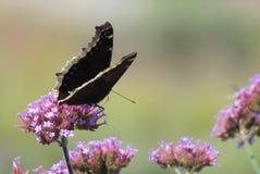 Trauer-Mantel-Schmetterling auf rosa Blume lizenzfreies stockbild