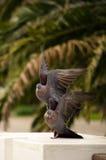 Trauer-Tauben Stockfotografie