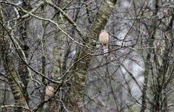 Trauer-Tauben hockten im Regen, Athen, Georgia, USA Lizenzfreie Stockbilder