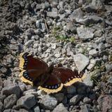 Trauermantel, der butterly in der Sonne stillsteht lizenzfreie stockfotos
