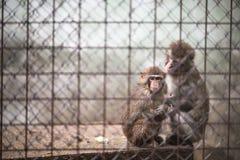 Traurige Affen Lizenzfreie Stockfotos