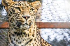 Traurige aufgefangene Leopardwildkatze zugeschlossen innerhalb eines Zookäfigs, der auf Freiheit aufpasst stockfotografie