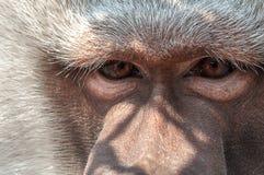 Traurige Augen des einsamen Affen ziemlich nah Stockfotos