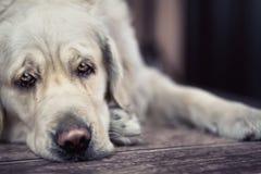 Traurige Augen des großen weißen Hundes Stockfotografie