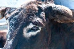 Traurige Augen des Viehs, Tierschutzkonzept, Stockbilder
