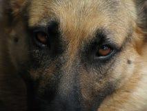 Traurige Augen eines Schäferhundes Stockbilder