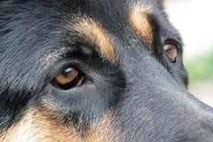 Traurige Augen eines Schäferhunds Lizenzfreies Stockbild