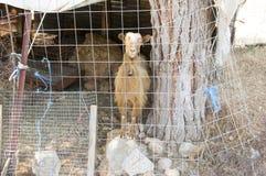Traurige braune kretische Ziege hinter Zaun, Blickkontakt Lizenzfreie Stockfotos