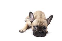 Traurige französische Bulldogge Lizenzfreie Stockfotografie