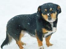 Traurige Hunderasse im Schneefallen stockbilder