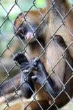 Traurige Klammeraffe im Käfig in Costa Rica Stockbild