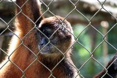 Traurige Klammeraffe im Käfig in Costa Rica Lizenzfreie Stockfotografie
