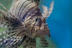 Traurige Löwefische im Aquarium Stockfoto
