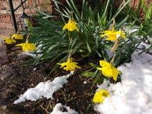 Traurige Narzissen, die nach ein Frühlings-Schneefällen sinken stockbild