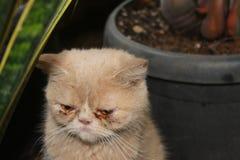 Traurige orange Katze mit Augenkrankheitsproblem Stockfoto