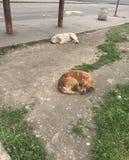 Traurige Straßenhunde stockbild
