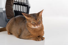 Traurige und neugierige abyssinische Katze und Kasten Getrennt auf weißem Hintergrund Stockfotografie