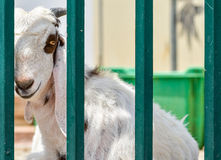 Traurige weiße Ziege Lizenzfreie Stockbilder