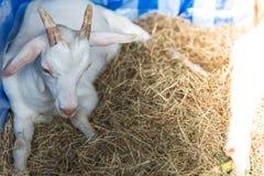 Traurige Ziege in der Zelle im offenen Zoo Lizenzfreie Stockfotografie
