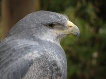 Trauriger Adler in der Gefangenschaft Lizenzfreie Stockbilder